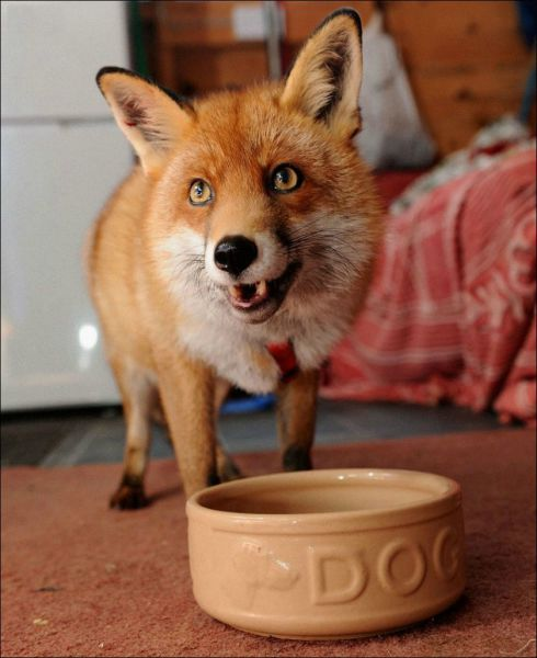 Pet Fox Is Just One of the Family