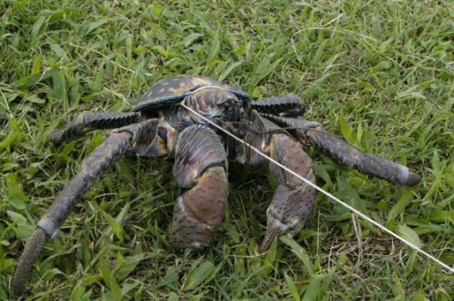 giant coconut crab facts - photo #15