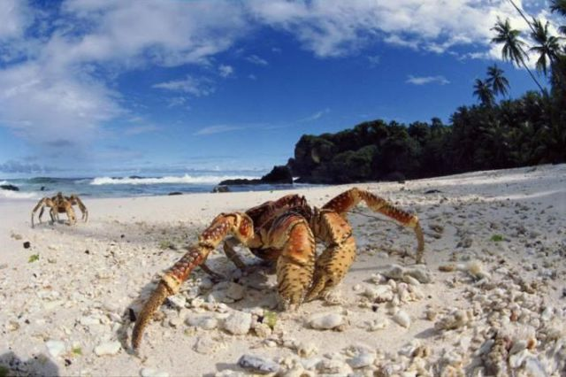 Giant Land-roaming Coconut Crab