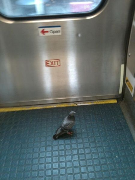 Proof that Pigeons are the Coolest Birds Ever