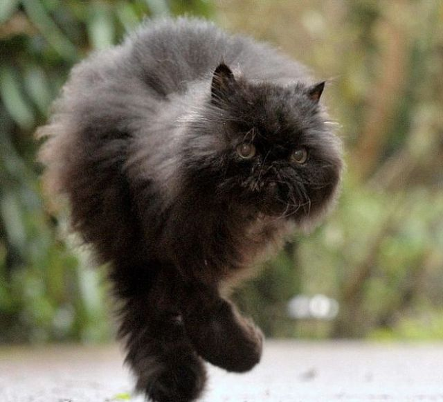 The One-side Cat Who Walks on Two Legs
