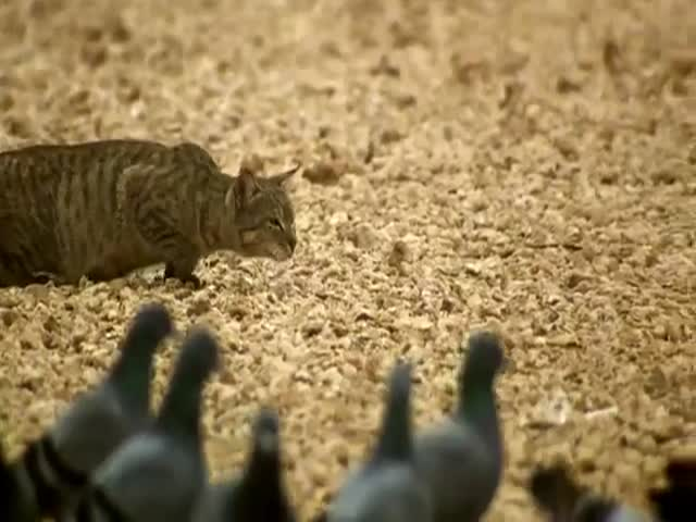 When a Feral Cat Goes Hunting