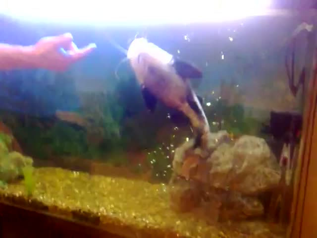 Russian Man Pets His Tamed Catfish