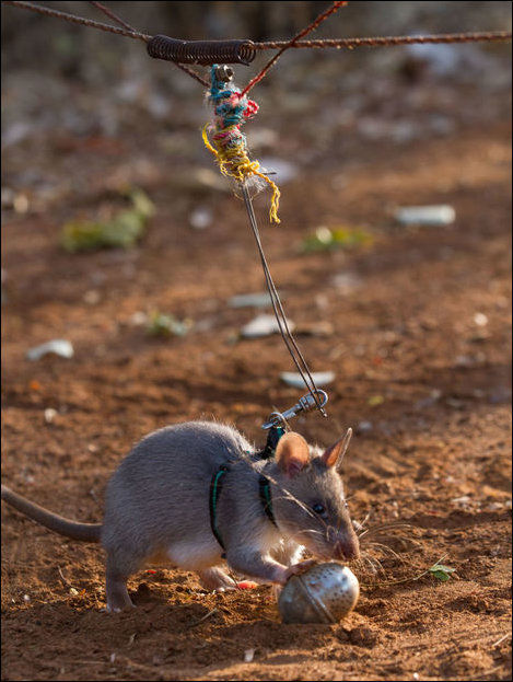 Rats Train as Bomb Squad Engineers