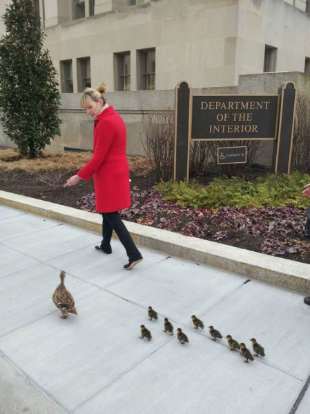Ducklings Get VIP Treatment on Recent City Stroll!