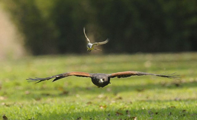 A Brave Tiny Bird Catches a Ride on a Giant Hawk