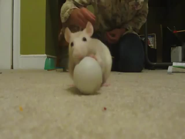 Smart Rats Doing Incredible Tricks