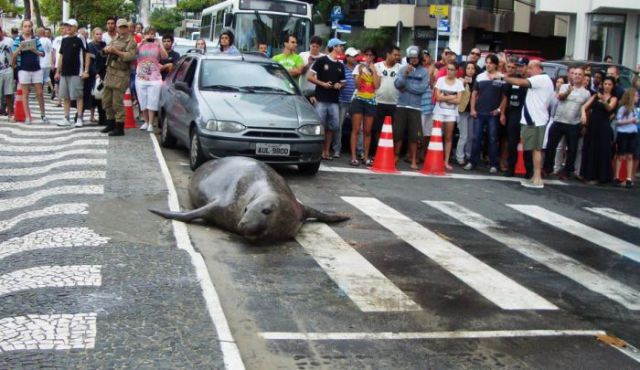 Inquisitive Sea Lion Goes Sightseeing in the City