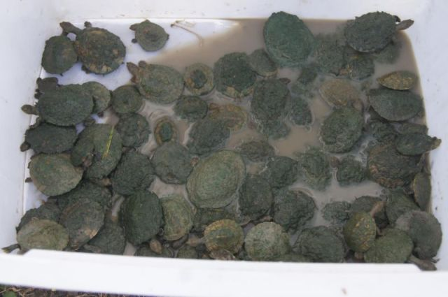 Hundreds of Small Turtles Rescued Over Two Days