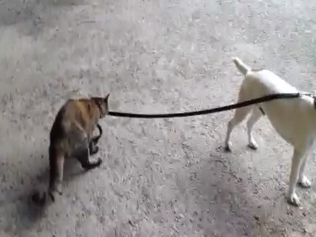 Cat Walks Dog Back Home