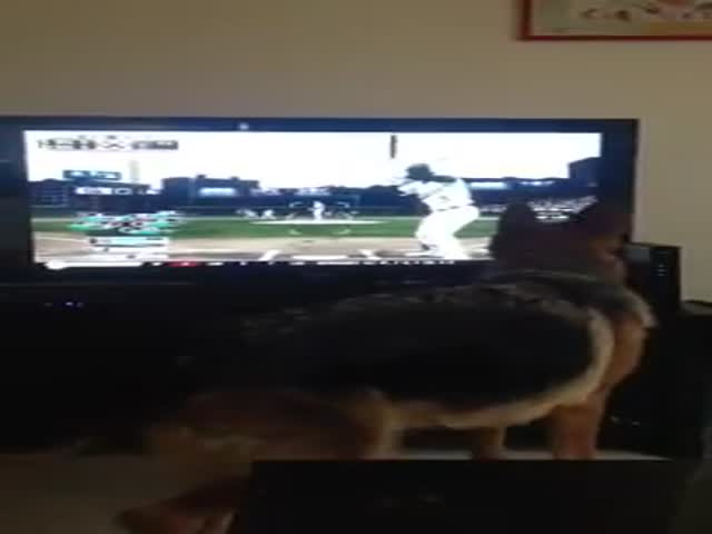 German Shepherd Tries a Baseball Catch…