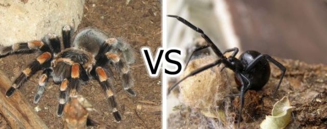 The Battle of the Venomous Spiders