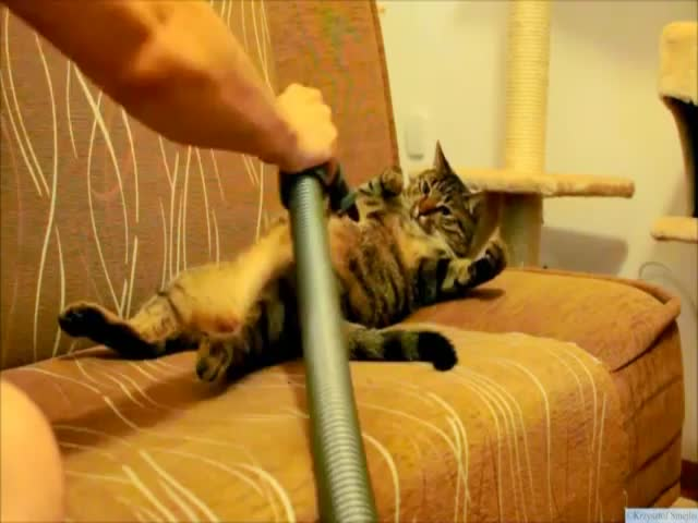 Cat Loves to Be Vacuumed