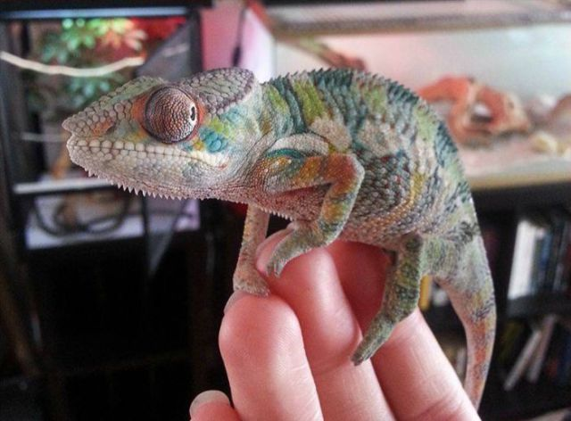 A Chameleon Grows Up