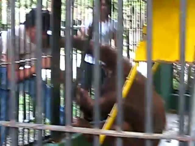 Call the Police, This Orangutan Is a Thief!