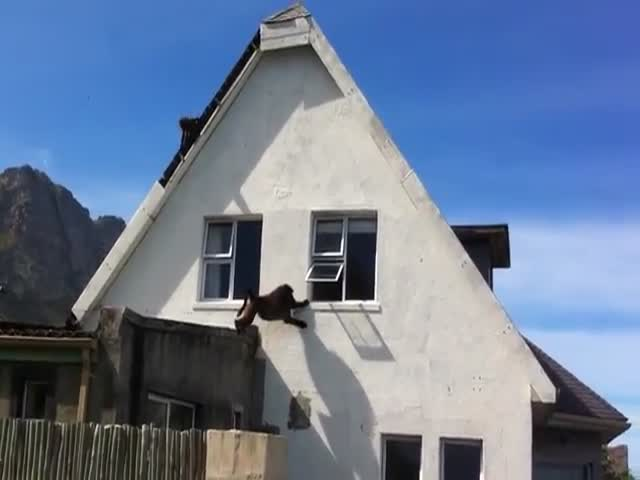 Invasion of Baboons Crashing a House