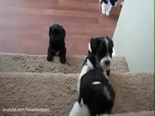 Cute Puppies That Can't Handle Stairs