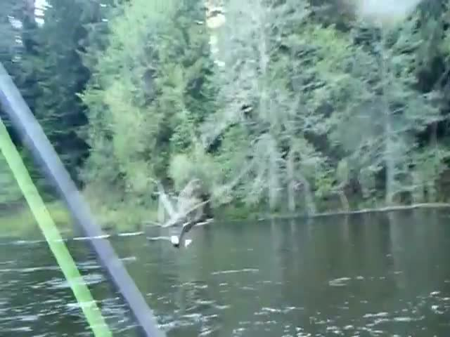 Bald Eagle Steals Fish Right Off Fisherman's Line