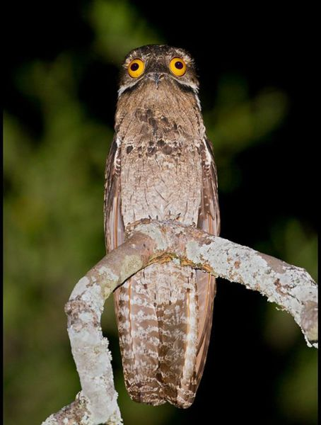 Googly-Eyed Potoo Birds Look Hilarious in Photos