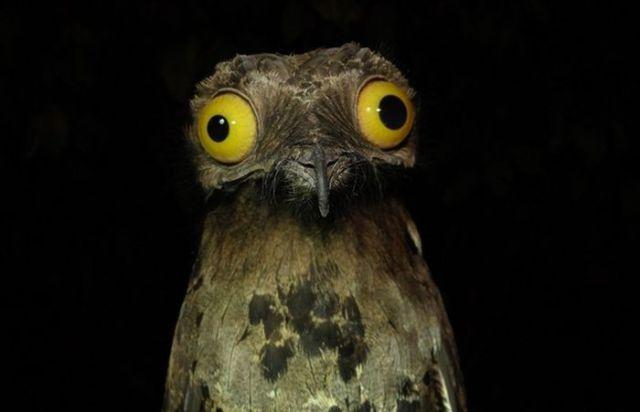 Googly-Eyed Potoo Birds Look Hilarious in Photos