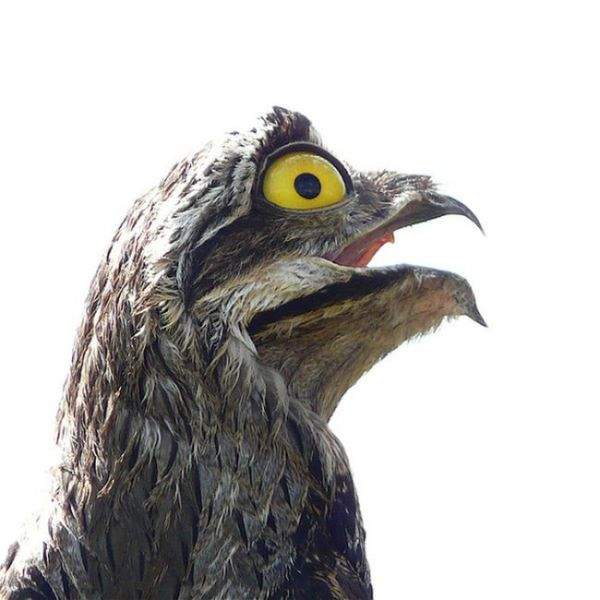 googlyeyed_potoo_birds_looks_hilarious_in_photos_640_06.jpg