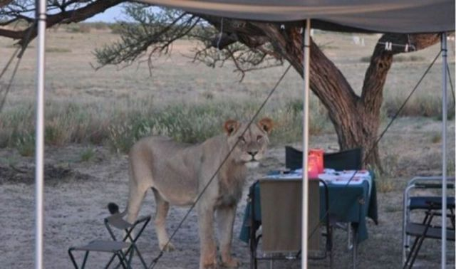 Wild Lions Pop in for a Quick Dinner Visit