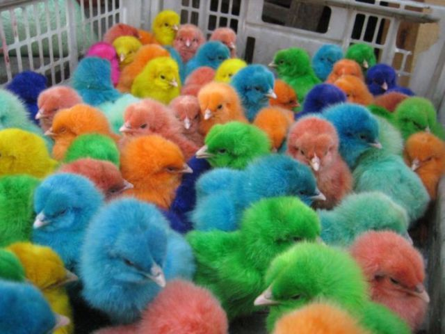 Baby Chicks in All the Colours of the Rainbow