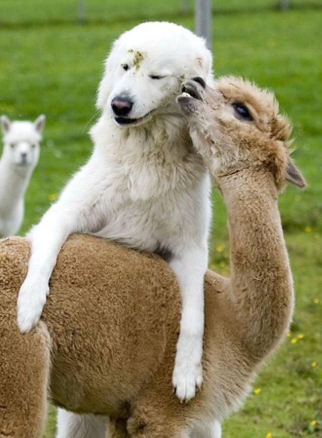 Strange and Improbably Animal Friendships!