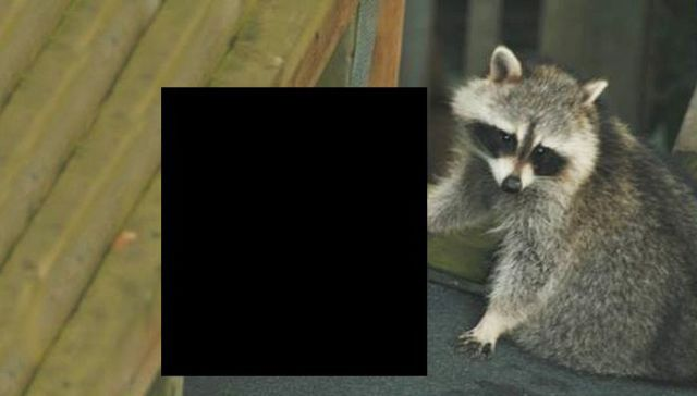 A Racoon That Stands Out from the Rest!