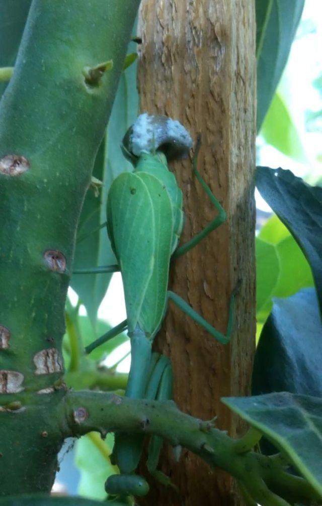 The Birth of Praying Mantis Babies!