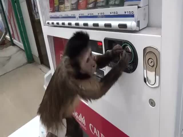 Clever Monkey Buys Himself a Drink