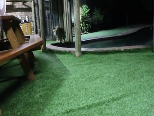 Stalking Tiger Attacks Owner