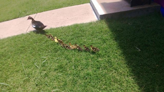 A Duck March in the Suburbs