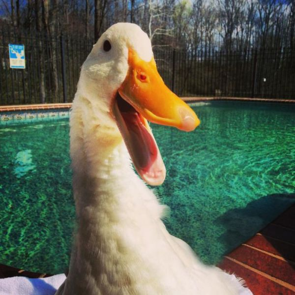 A 3D Printed Foot Enables This Duck to Walk Again