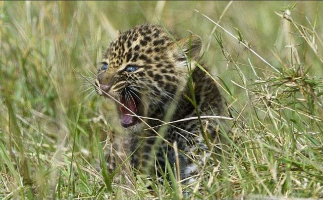 Mom Comes to the Rescue of Baby Leopard in Risky Situation