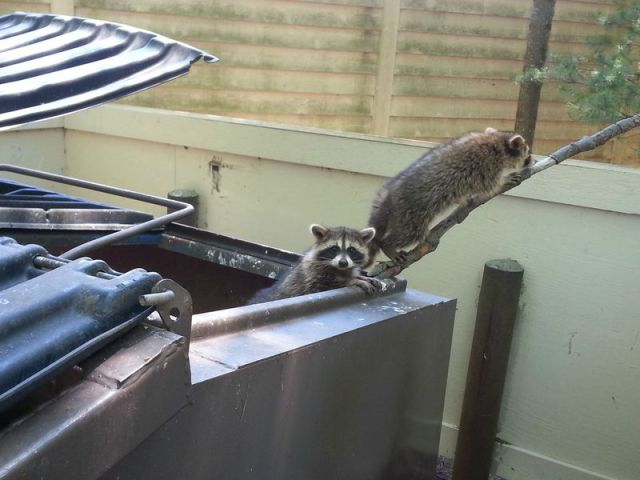 Trapped Raccoons Make a Swift Exit