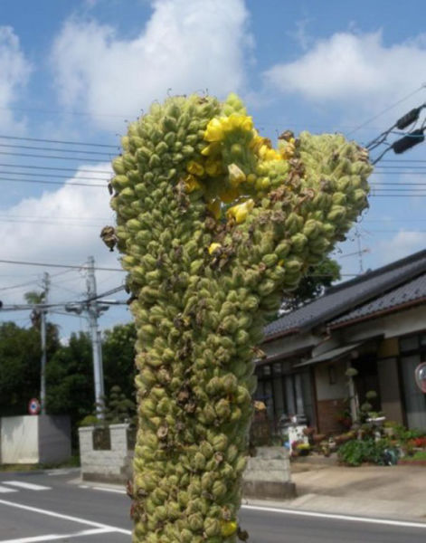 Mutant Produce from Japan