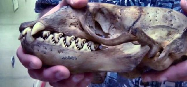 [imagetag] Do You Know What Animal This Skull Comes from?