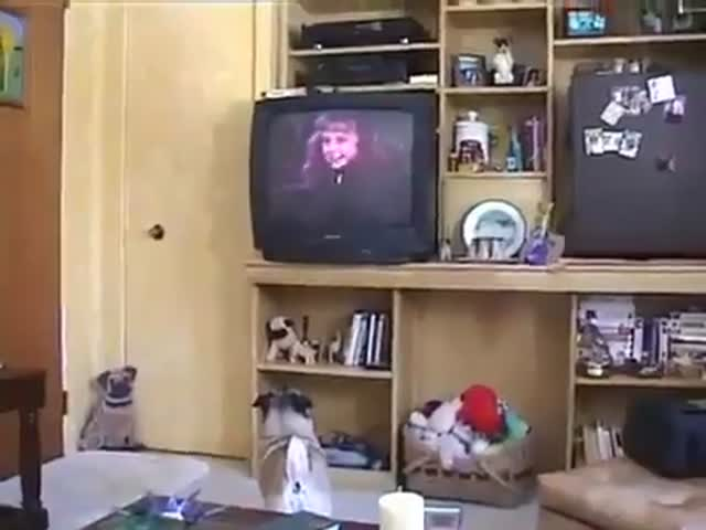 "Pug's Sweet Reaction to Watching ""Homeward Bound"" Movie Ending"