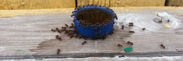 This Is What Happens When You Let Ants Near Pepsi