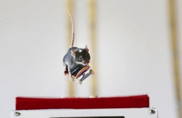 Teaching Mice to Skateboard