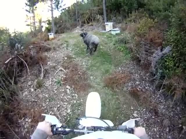 Mountain Biker vs Ram – Round 2