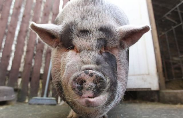 Pet Owner Gets More Pig Than She Bargained for