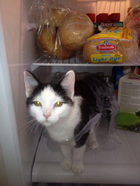 Funny Fridge Kitten