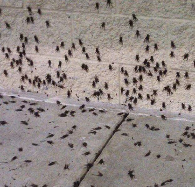 Oklahoma City Attacked by a Swarm of Crickets