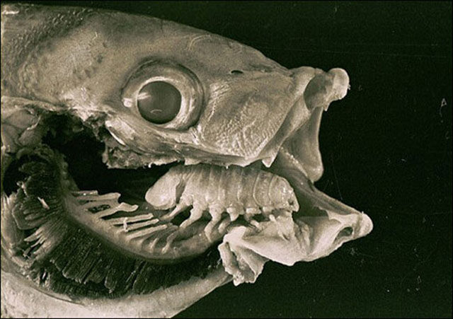 A Disgusting Squidgy Parasite That Eats Tongues for Fun