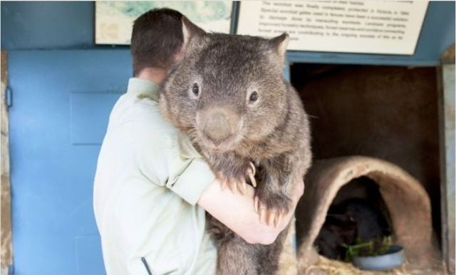The Oldest Living Wombat in the World