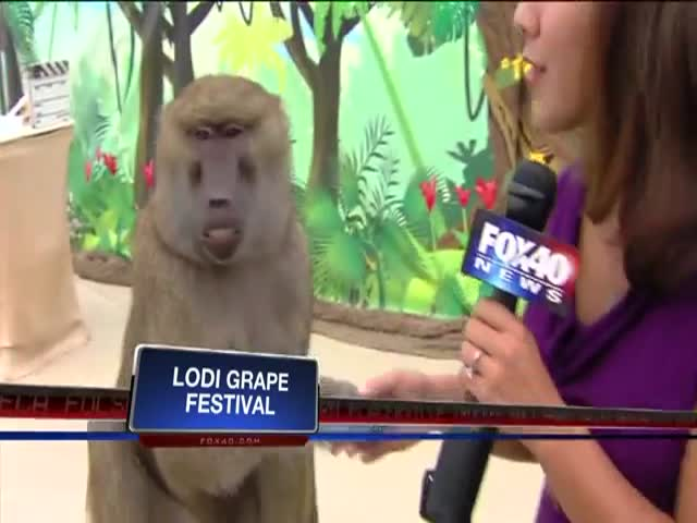 This Baboon Knows How to Charm the Ladies!