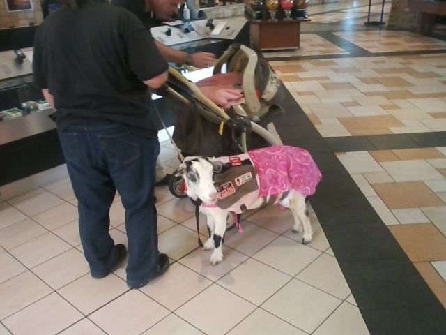 This Lady Went to the Mall with a Service Goat…and Then It Got Even Stranger