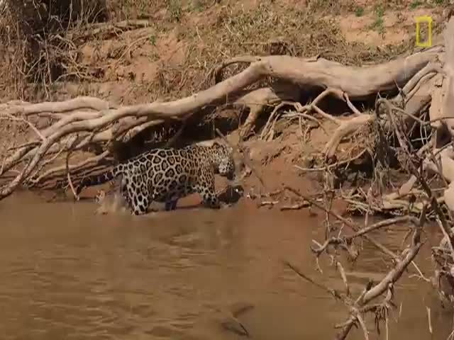 Jaguar Stalks and Attacks Caiman